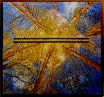 11. Birches